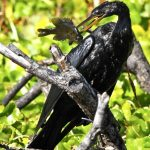 anhinga and lunch