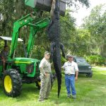 gator,brown trout 009
